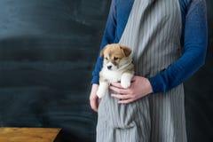 Corgi szczeniaka pies siedzi fartuch kieszeń Obrazy Stock