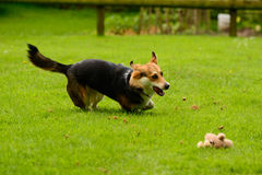 Dog running in garden Stock Photos