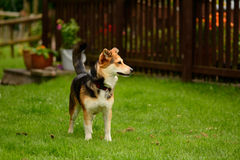 Dog standing in garden Royalty Free Stock Photography