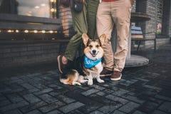 Corgi Welsh Пембрука, Corgi Welsh собаки бежать outdoors Стоковые Изображения