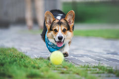 Corgi Welsh Пембрука, Corgi Welsh собаки бежать outdoors Стоковые Фото