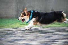 Corgi Welsh Пембрука, Corgi Welsh собаки бежать outdoors Стоковые Фотографии RF