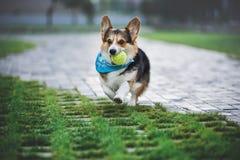Corgi Welsh Пембрука, Corgi Welsh собаки бежать outdoors Стоковое Изображение