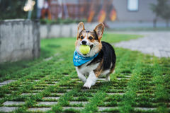 Corgi Welsh Пембрука, Corgi Welsh собаки бежать outdoors Стоковое Фото