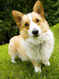 corgi Welsh Fotografia Stock