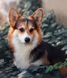 Corgi pembroke, beautiful and graceful dog sits in the forest Stock Photos