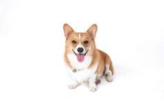 Corgihund Royaltyfri Bild
