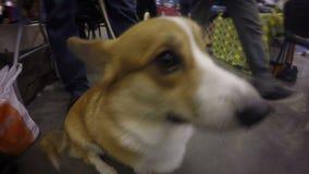 Corgihund, der abwesend um ergeben sitzen nahe Füßen des Meisters schaut stock footage