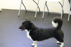 Corgihund med den lockiga svansen Royaltyfri Bild