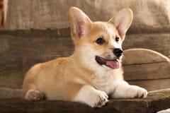 corgihund welsh Arkivfoton