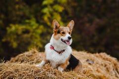 Corgihunden Fotografering för Bildbyråer