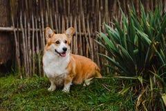 Corgihunden Royaltyfri Fotografi