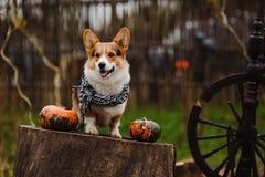 Corgihunden på höstacken Royaltyfria Bilder