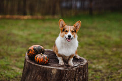 Corgihunden på stubben Arkivbild