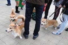 Corgis na celebração do dia do ` s de St Patrick em Moscou Imagem de Stock Royalty Free