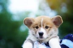Corgivalp, hund i solig dag för sommar arkivfoton