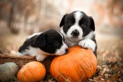 Corgiwelpenhunde mit einem Kürbis auf einem Herbsthintergrund Stockfoto