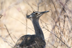 Cori bustard Royalty Free Stock Photos