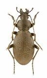 Coriaceus de Carabus Foto de archivo libre de regalías