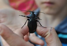 Coriaceus de Carabus del escarabajo en la mano de un muchacho Fotos de archivo