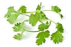 Coriander. Leaf isolated on white Royalty Free Stock Photo