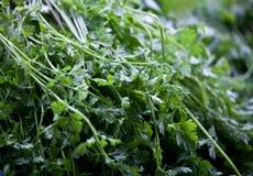 Coriander. Image of fresh organics coriander Stock Photo