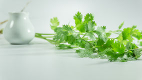 Fresh coriander leaves on white background. Coriander also known as cilantro or Chinese parsley, is an annual herb in the family Apiaceae. All parts of the plant stock images