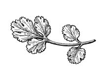 Coriander ink sketch. Royalty Free Stock Image