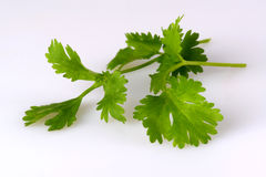 Coriander, also known as cilantro, isolated on white Stock Images