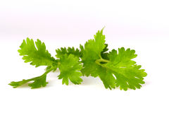Coriander, also known as cilantro, isolated on white Royalty Free Stock Image