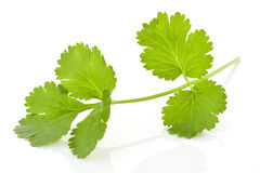 Coriander banch on white background. Stock Images