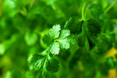 Coriander. Beautiful shot of fresh coriander leaves Royalty Free Stock Photography