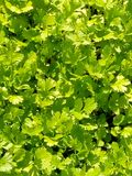 Coriander, bright cilantro greens in the period of vegetation, growing in early summer. royalty free stock images