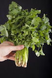 Coriander bunch in hand Stock Photo