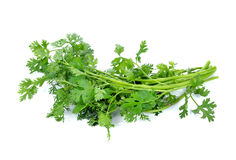 Coriander bunch Royalty Free Stock Images