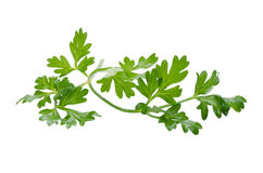 Coriander bunch isolated on white.  Royalty Free Stock Photo