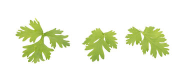 Coriander bunch isolated on white.  Stock Image