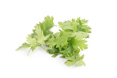 Coriander bunch isolated on white.  Royalty Free Stock Images