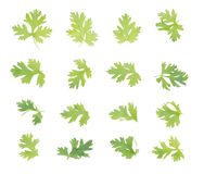 Coriander bunch isolated on white.  Royalty Free Stock Image