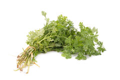 Coriander bunch isolated on white.  Stock Photos
