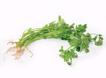 Coriander or cilantro Stock Photography