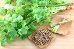 Coriander, cilantro, with roots and seeds Stock Images