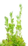 Coriander (cilantro) tree Royalty Free Stock Photo