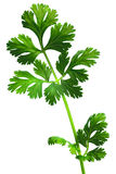Coriander,cilatro,dhania Stock Photos