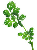 Coriander,cilatro,dhania Royalty Free Stock Photo