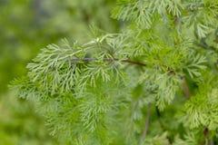 Coriander (Coriandrum sativum). Close view of coriander (Coriandrum sativum) farming stock image