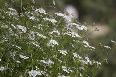 Coriander (Coriandrum sativum). Close view of coriander (Coriandrum sativum) farming stock photos