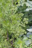 Coriander (Coriandrum sativum). Close view of coriander (Coriandrum sativum) farming royalty free stock photo
