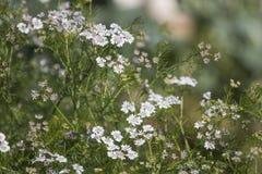Coriander Coriandrum sativum. Close view of coriander Coriandrum sativum farming stock photography