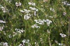 Coriander Coriandrum sativum. Close view of coriander Coriandrum sativum farming stock image